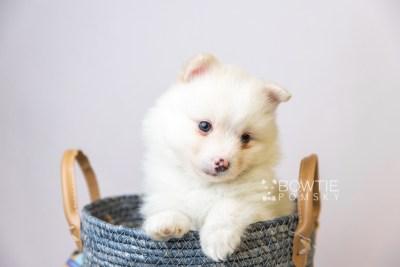 puppy122 week5 BowTiePomsky.com Bowtie Pomsky Puppy For Sale Husky Pomeranian Mini Dog Spokane WA Breeder Blue Eyes Pomskies Celebrity Puppy web2