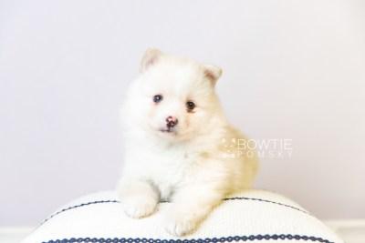 puppy122 week5 BowTiePomsky.com Bowtie Pomsky Puppy For Sale Husky Pomeranian Mini Dog Spokane WA Breeder Blue Eyes Pomskies Celebrity Puppy web5