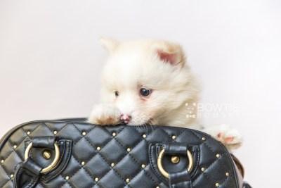 puppy122 week7 BowTiePomsky.com Bowtie Pomsky Puppy For Sale Husky Pomeranian Mini Dog Spokane WA Breeder Blue Eyes Pomskies Celebrity Puppy web2