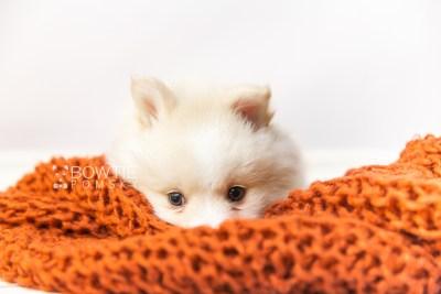 puppy122 week7 BowTiePomsky.com Bowtie Pomsky Puppy For Sale Husky Pomeranian Mini Dog Spokane WA Breeder Blue Eyes Pomskies Celebrity Puppy web4