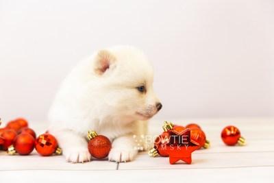 puppy123 week3 BowTiePomsky.com Bowtie Pomsky Puppy For Sale Husky Pomeranian Mini Dog Spokane WA Breeder Blue Eyes Pomskies Celebrity Puppy web-size web2