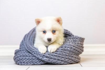 puppy123 week5 BowTiePomsky.com Bowtie Pomsky Puppy For Sale Husky Pomeranian Mini Dog Spokane WA Breeder Blue Eyes Pomskies Celebrity Puppy web1
