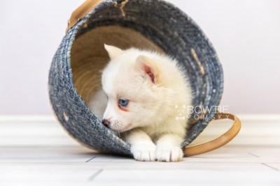 puppy123 week5 BowTiePomsky.com Bowtie Pomsky Puppy For Sale Husky Pomeranian Mini Dog Spokane WA Breeder Blue Eyes Pomskies Celebrity Puppy web2