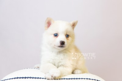 puppy123 week5 BowTiePomsky.com Bowtie Pomsky Puppy For Sale Husky Pomeranian Mini Dog Spokane WA Breeder Blue Eyes Pomskies Celebrity Puppy web5