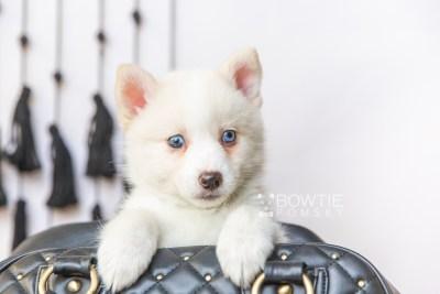 puppy123 week7 BowTiePomsky.com Bowtie Pomsky Puppy For Sale Husky Pomeranian Mini Dog Spokane WA Breeder Blue Eyes Pomskies Celebrity Puppy web3