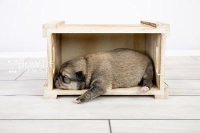 puppy124 week1 BowTiePomsky.com Bowtie Pomsky Puppy For Sale Husky Pomeranian Mini Dog Spokane WA Breeder Blue Eyes Pomskies Celebrity Puppy web-logo4