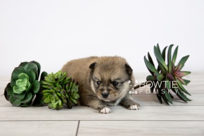 puppy124 week3 BowTiePomsky.com Bowtie Pomsky Puppy For Sale Husky Pomeranian Mini Dog Spokane WA Breeder Blue Eyes Pomskies Celebrity Puppy web-logo1