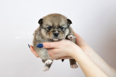 puppy124 week3 BowTiePomsky.com Bowtie Pomsky Puppy For Sale Husky Pomeranian Mini Dog Spokane WA Breeder Blue Eyes Pomskies Celebrity Puppy web-logo7