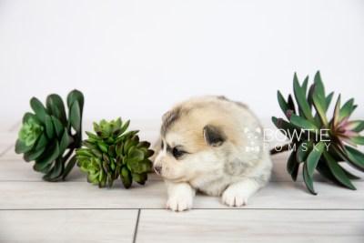 puppy125 week3 BowTiePomsky.com Bowtie Pomsky Puppy For Sale Husky Pomeranian Mini Dog Spokane WA Breeder Blue Eyes Pomskies Celebrity Puppy web-logo1