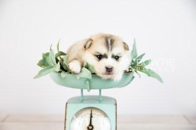 puppy125 week3 BowTiePomsky.com Bowtie Pomsky Puppy For Sale Husky Pomeranian Mini Dog Spokane WA Breeder Blue Eyes Pomskies Celebrity Puppy web-logo3