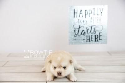 puppy126 week3 BowTiePomsky.com Bowtie Pomsky Puppy For Sale Husky Pomeranian Mini Dog Spokane WA Breeder Blue Eyes Pomskies Celebrity Puppy web-logo6