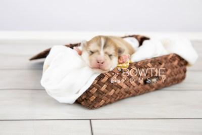 puppy127 week1 BowTiePomsky.com Bowtie Pomsky Puppy For Sale Husky Pomeranian Mini Dog Spokane WA Breeder Blue Eyes Pomskies Celebrity Puppy web-logo1