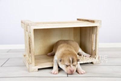 puppy127 week1 BowTiePomsky.com Bowtie Pomsky Puppy For Sale Husky Pomeranian Mini Dog Spokane WA Breeder Blue Eyes Pomskies Celebrity Puppy web-logo2