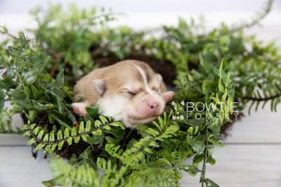 puppy127 week1 BowTiePomsky.com Bowtie Pomsky Puppy For Sale Husky Pomeranian Mini Dog Spokane WA Breeder Blue Eyes Pomskies Celebrity Puppy web-logo3