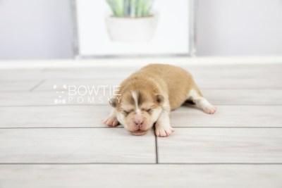 puppy127 week1 BowTiePomsky.com Bowtie Pomsky Puppy For Sale Husky Pomeranian Mini Dog Spokane WA Breeder Blue Eyes Pomskies Celebrity Puppy web-logo4
