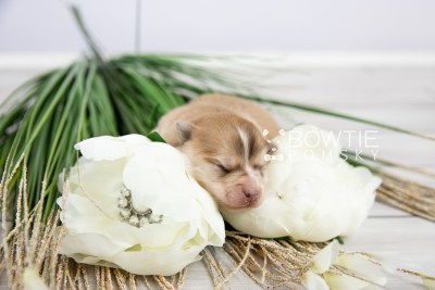 puppy127 week1 BowTiePomsky.com Bowtie Pomsky Puppy For Sale Husky Pomeranian Mini Dog Spokane WA Breeder Blue Eyes Pomskies Celebrity Puppy web-logo5