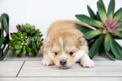 puppy127 week3 BowTiePomsky.com Bowtie Pomsky Puppy For Sale Husky Pomeranian Mini Dog Spokane WA Breeder Blue Eyes Pomskies Celebrity Puppy web-logo1