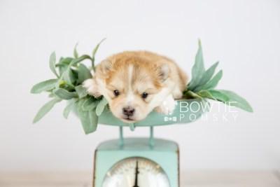 puppy127 week3 BowTiePomsky.com Bowtie Pomsky Puppy For Sale Husky Pomeranian Mini Dog Spokane WA Breeder Blue Eyes Pomskies Celebrity Puppy web-logo5