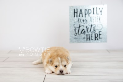 puppy127 week3 BowTiePomsky.com Bowtie Pomsky Puppy For Sale Husky Pomeranian Mini Dog Spokane WA Breeder Blue Eyes Pomskies Celebrity Puppy web-logo6