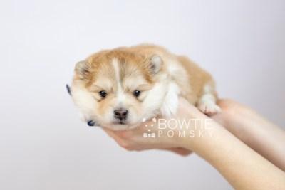 puppy127 week3 BowTiePomsky.com Bowtie Pomsky Puppy For Sale Husky Pomeranian Mini Dog Spokane WA Breeder Blue Eyes Pomskies Celebrity Puppy web-logo7
