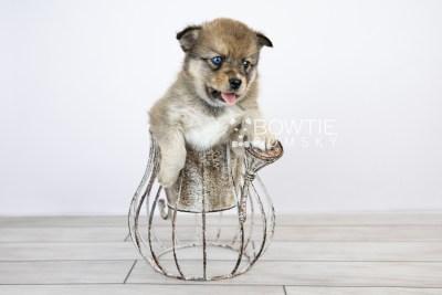 puppy124 week5 BowTiePomsky.com Bowtie Pomsky Puppy For Sale Husky Pomeranian Mini Dog Spokane WA Breeder Blue Eyes Pomskies Celebrity Puppy web with logo2