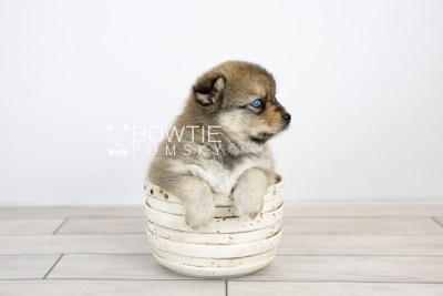 puppy124 week5 BowTiePomsky.com Bowtie Pomsky Puppy For Sale Husky Pomeranian Mini Dog Spokane WA Breeder Blue Eyes Pomskies Celebrity Puppy web with logo3