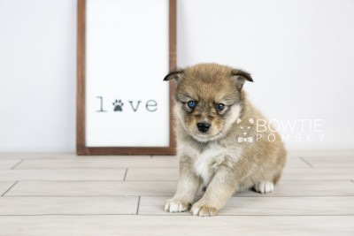 puppy124 week5 BowTiePomsky.com Bowtie Pomsky Puppy For Sale Husky Pomeranian Mini Dog Spokane WA Breeder Blue Eyes Pomskies Celebrity Puppy web with logo4