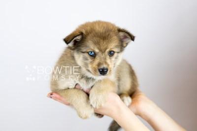 puppy124 week7 BowTiePomsky.com Bowtie Pomsky Puppy For Sale Husky Pomeranian Mini Dog Spokane WA Breeder Blue Eyes Pomskies Celebrity Puppy web with logo6