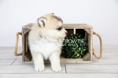 puppy125 week5 BowTiePomsky.com Bowtie Pomsky Puppy For Sale Husky Pomeranian Mini Dog Spokane WA Breeder Blue Eyes Pomskies Celebrity Puppy web with logo1