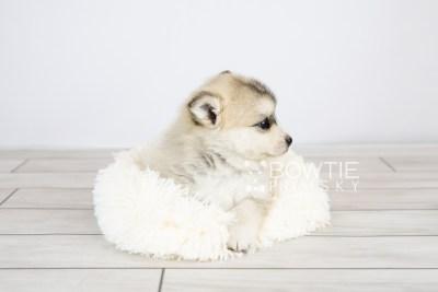puppy125 week5 BowTiePomsky.com Bowtie Pomsky Puppy For Sale Husky Pomeranian Mini Dog Spokane WA Breeder Blue Eyes Pomskies Celebrity Puppy web with logo5