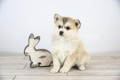 puppy125 week7 BowTiePomsky.com Bowtie Pomsky Puppy For Sale Husky Pomeranian Mini Dog Spokane WA Breeder Blue Eyes Pomskies Celebrity Puppy web with logo2