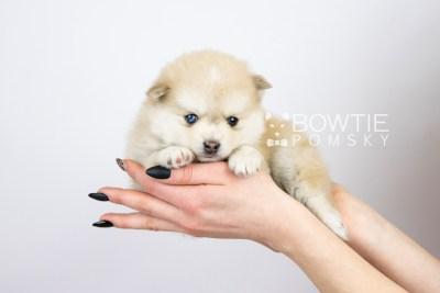 puppy126 week5 BowTiePomsky.com Bowtie Pomsky Puppy For Sale Husky Pomeranian Mini Dog Spokane WA Breeder Blue Eyes Pomskies Celebrity Puppy web with logo7