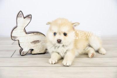 puppy126 week7 BowTiePomsky.com Bowtie Pomsky Puppy For Sale Husky Pomeranian Mini Dog Spokane WA Breeder Blue Eyes Pomskies Celebrity Puppy web with logo2