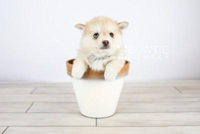 puppy126 week7 BowTiePomsky.com Bowtie Pomsky Puppy For Sale Husky Pomeranian Mini Dog Spokane WA Breeder Blue Eyes Pomskies Celebrity Puppy web with logo5