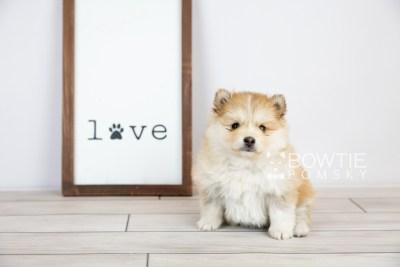 puppy127 week5 BowTiePomsky.com Bowtie Pomsky Puppy For Sale Husky Pomeranian Mini Dog Spokane WA Breeder Blue Eyes Pomskies Celebrity Puppy web with logo4