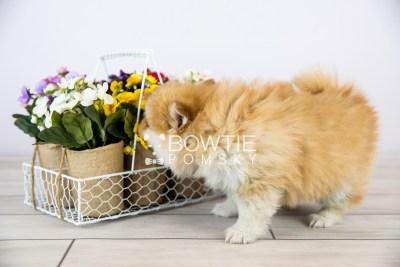 puppy127 week7 BowTiePomsky.com Bowtie Pomsky Puppy For Sale Husky Pomeranian Mini Dog Spokane WA Breeder Blue Eyes Pomskies Celebrity Puppy web with logo1