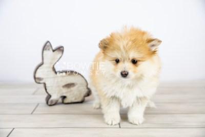 puppy127 week7 BowTiePomsky.com Bowtie Pomsky Puppy For Sale Husky Pomeranian Mini Dog Spokane WA Breeder Blue Eyes Pomskies Celebrity Puppy web with logo2