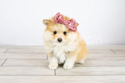 puppy127 week7 BowTiePomsky.com Bowtie Pomsky Puppy For Sale Husky Pomeranian Mini Dog Spokane WA Breeder Blue Eyes Pomskies Celebrity Puppy web with logo3