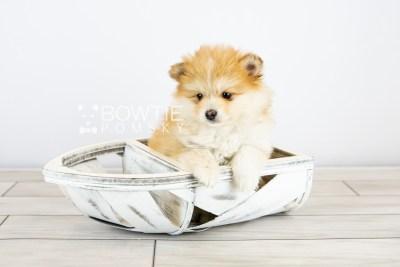 puppy127 week7 BowTiePomsky.com Bowtie Pomsky Puppy For Sale Husky Pomeranian Mini Dog Spokane WA Breeder Blue Eyes Pomskies Celebrity Puppy web with logo4