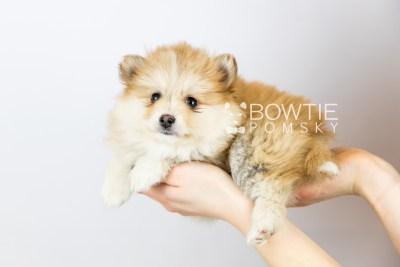 puppy127 week7 BowTiePomsky.com Bowtie Pomsky Puppy For Sale Husky Pomeranian Mini Dog Spokane WA Breeder Blue Eyes Pomskies Celebrity Puppy web with logo6