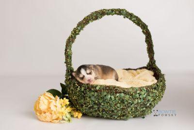 puppy128 week1 BowTiePomsky.com Bowtie Pomsky Puppy For Sale Husky Pomeranian Mini Dog Spokane WA Breeder Blue Eyes Pomskies Celebrity Puppy web-logo4