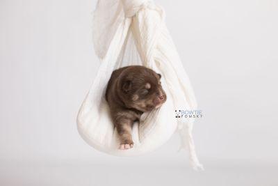 puppy129 week1 BowTiePomsky.com Bowtie Pomsky Puppy For Sale Husky Pomeranian Mini Dog Spokane WA Breeder Blue Eyes Pomskies Celebrity Puppy web-logo1