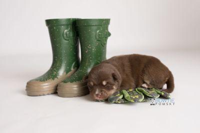 puppy129 week1 BowTiePomsky.com Bowtie Pomsky Puppy For Sale Husky Pomeranian Mini Dog Spokane WA Breeder Blue Eyes Pomskies Celebrity Puppy web-logo3