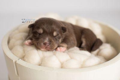 puppy129 week1 BowTiePomsky.com Bowtie Pomsky Puppy For Sale Husky Pomeranian Mini Dog Spokane WA Breeder Blue Eyes Pomskies Celebrity Puppy web-logo6