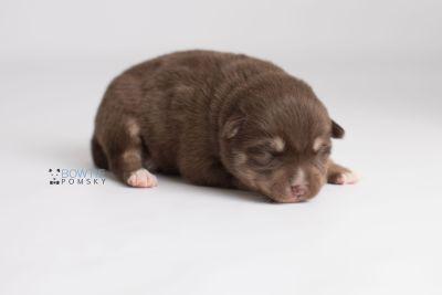 puppy129 week1 BowTiePomsky.com Bowtie Pomsky Puppy For Sale Husky Pomeranian Mini Dog Spokane WA Breeder Blue Eyes Pomskies Celebrity Puppy web-logo7