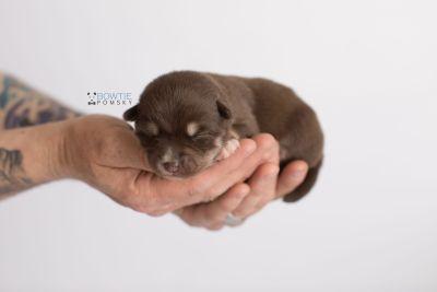 puppy129 week1 BowTiePomsky.com Bowtie Pomsky Puppy For Sale Husky Pomeranian Mini Dog Spokane WA Breeder Blue Eyes Pomskies Celebrity Puppy web-logo8