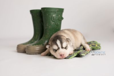 puppy130 week1 BowTiePomsky.com Bowtie Pomsky Puppy For Sale Husky Pomeranian Mini Dog Spokane WA Breeder Blue Eyes Pomskies Celebrity Puppy web-logo3