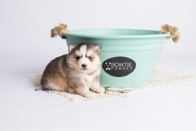 puppy128 week3 BowTiePomsky.com Bowtie Pomsky Puppy For Sale Husky Pomeranian Mini Dog Spokane WA Breeder Blue Eyes Pomskies Celebrity Puppy web5