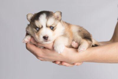 puppy128 week3 BowTiePomsky.com Bowtie Pomsky Puppy For Sale Husky Pomeranian Mini Dog Spokane WA Breeder Blue Eyes Pomskies Celebrity Puppy web8