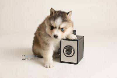 puppy128 week5 BowTiePomsky.com Bowtie Pomsky Puppy For Sale Husky Pomeranian Mini Dog Spokane WA Breeder Blue Eyes Pomskies Celebrity Puppy web-logo5